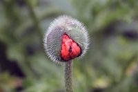 Photograher\PeterWillems: Budding-Poppy-10-[PW-NL]